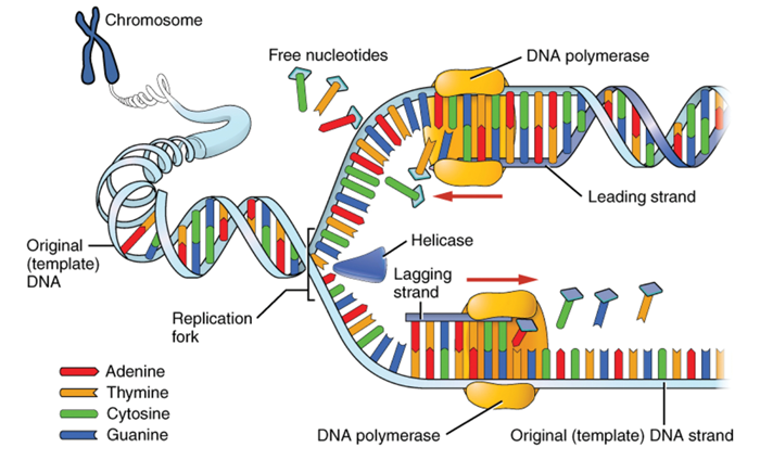 The structure and function of dna ent audiology news during the process of dna replication the original dna molecule is uncoiled by dna helicase separating the two strands each then forms the template upon maxwellsz